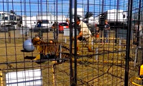 Trainer Beats Tiger Senseless With a Stick Just For Nibbling On His Leg